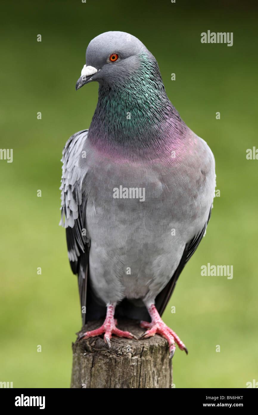 Feral Pigeon Columba livia prese a Martin mera WWT Lancashire, Regno Unito Immagini Stock