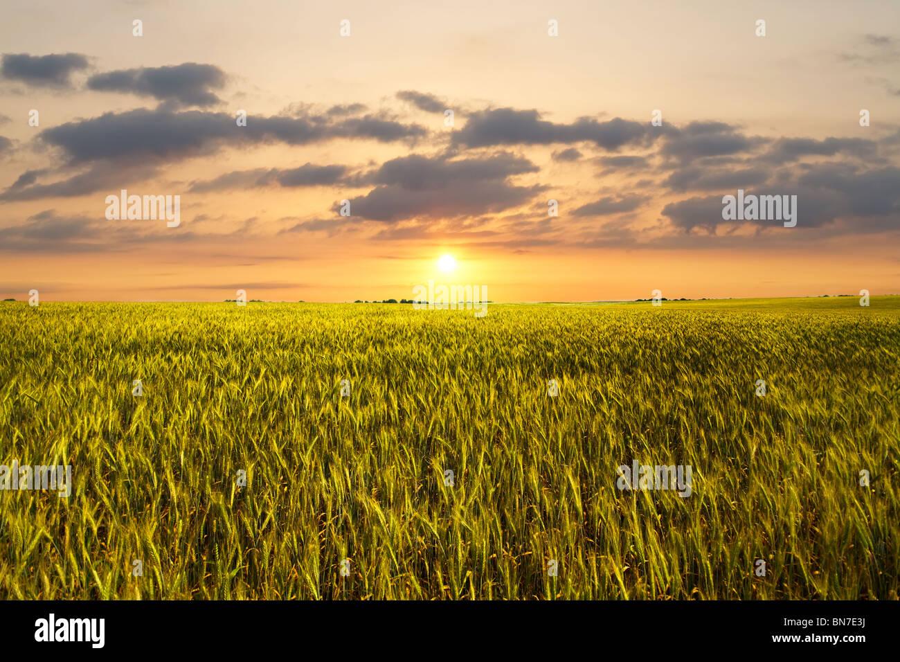 Tramonto sul campo di grano Immagini Stock