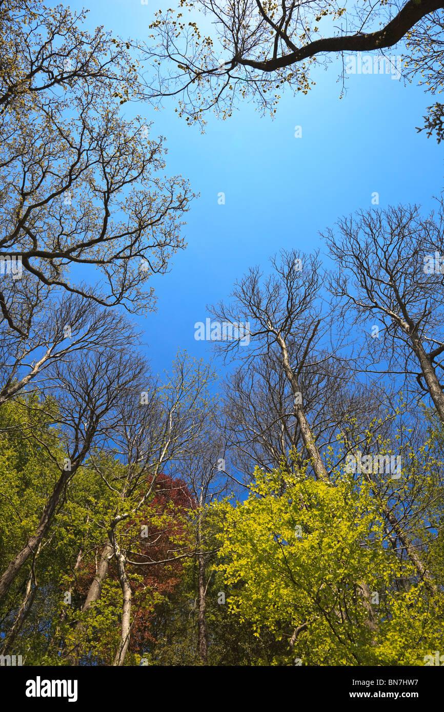 Bosco di latifoglie che mostra la nuova crescita di foglia a inizio estate con cielo blu Immagini Stock