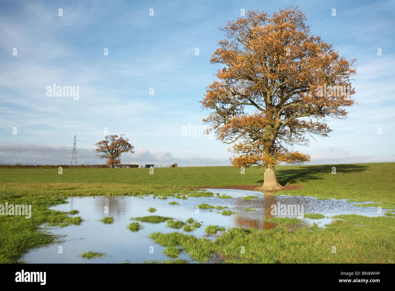 Unico autunno quercia in piedi in un campo inondato, Herefordshire, England, Regno Unito Immagini Stock