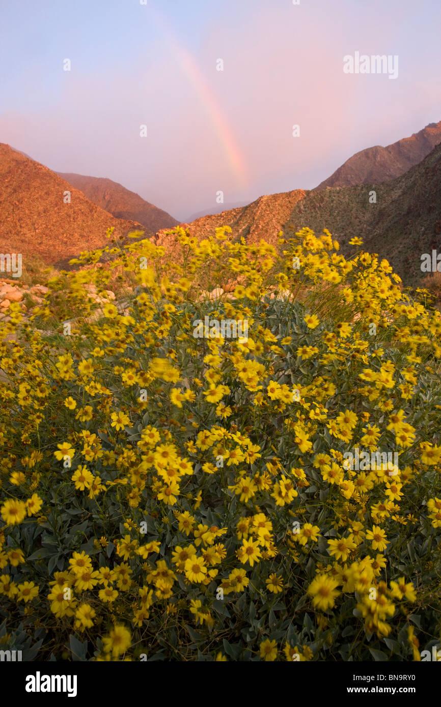 Fiori Selvatici in Borrego Palm Canyon, Anza-Borrego Desert State Park, California. Immagini Stock