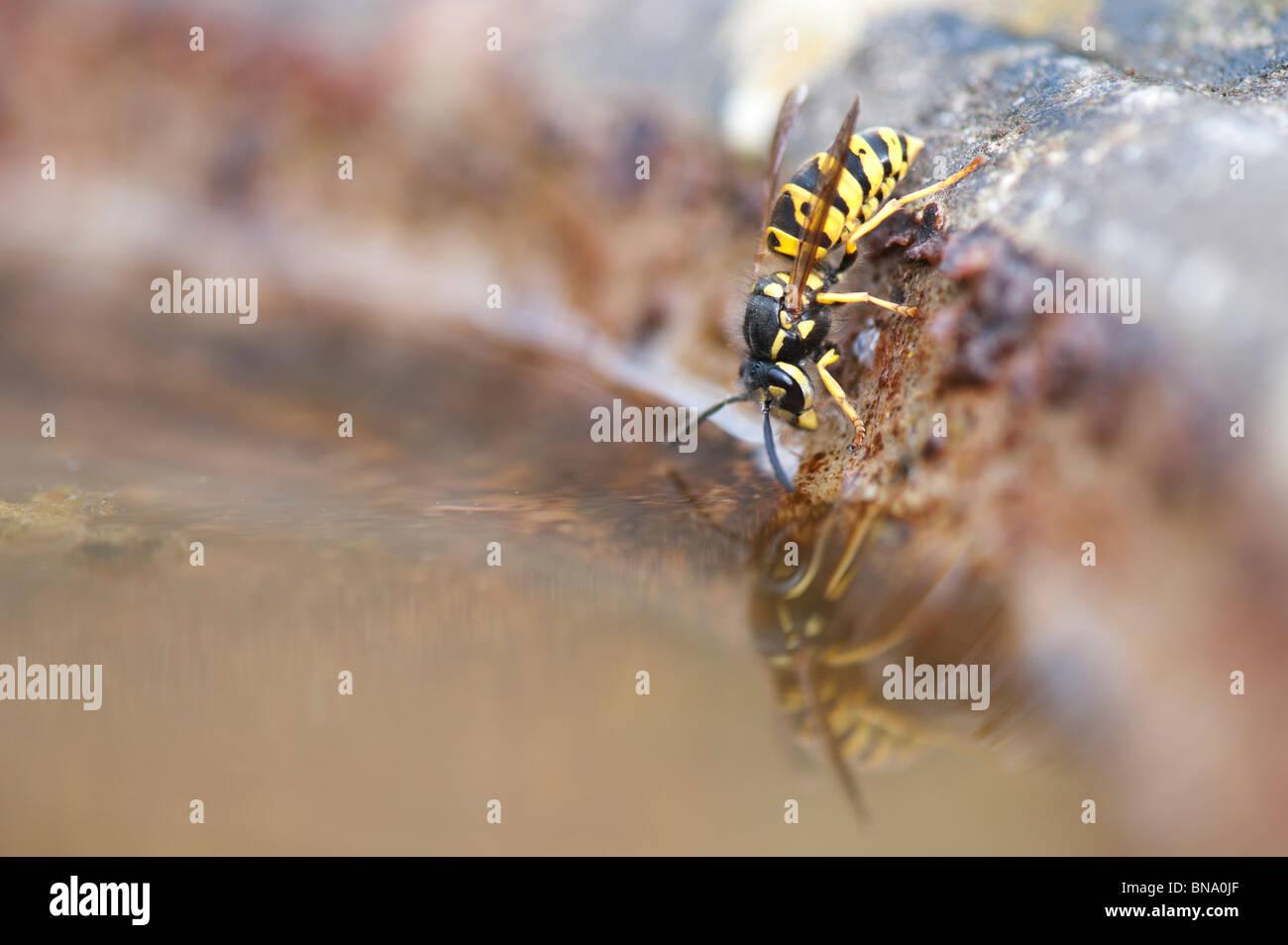 Bagno In Comune In Inglese : Vespula vulgaris. comune wasp. yellowjacket wasp bere da un bagno di