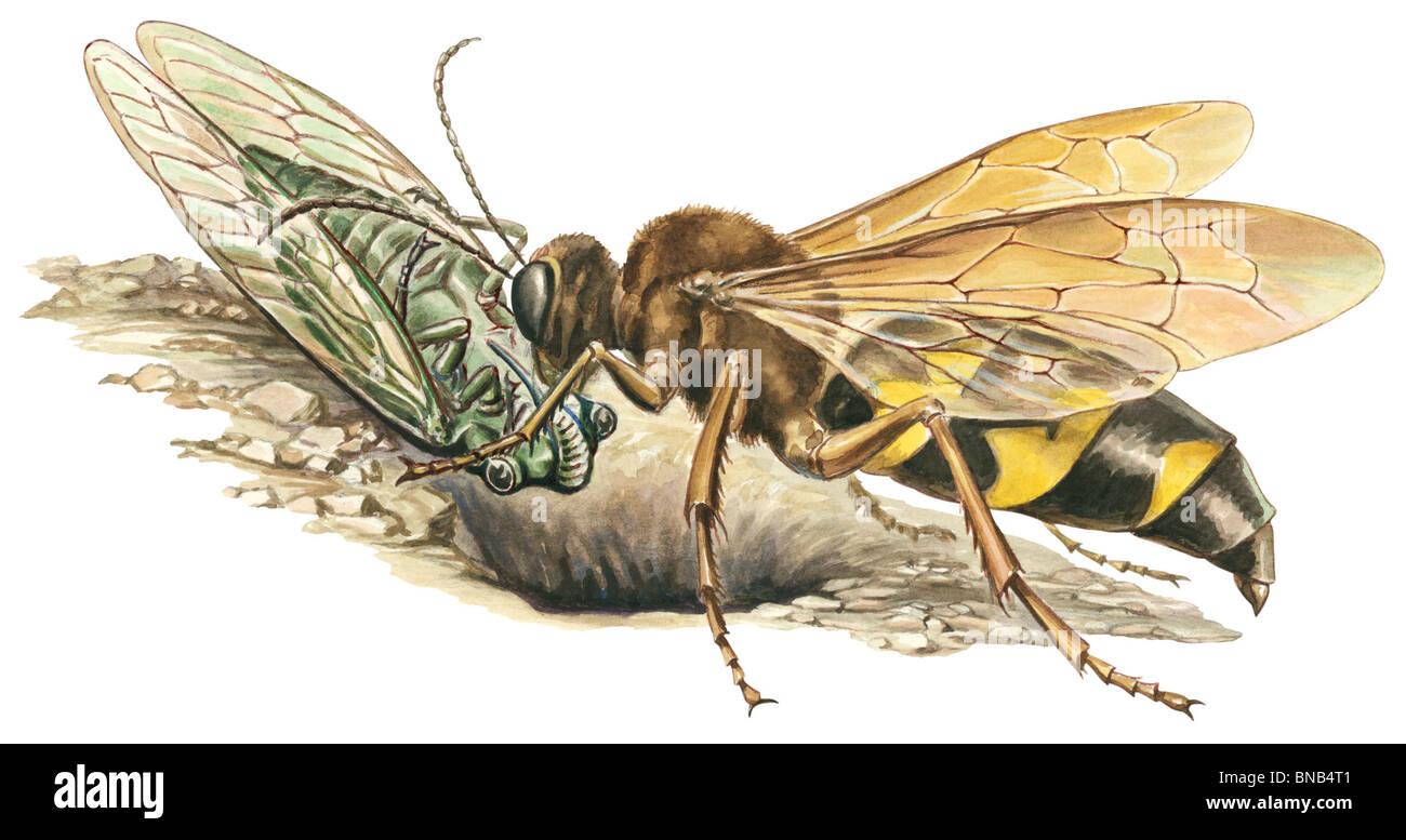 Cicala killer wasp Immagini Stock