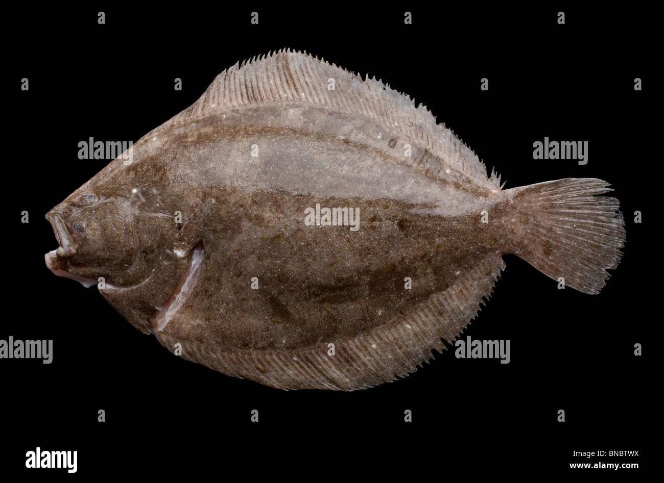 Rombo Liscio Scophthalmus Rhombus Una Specie Di Pesci Piatti Nella