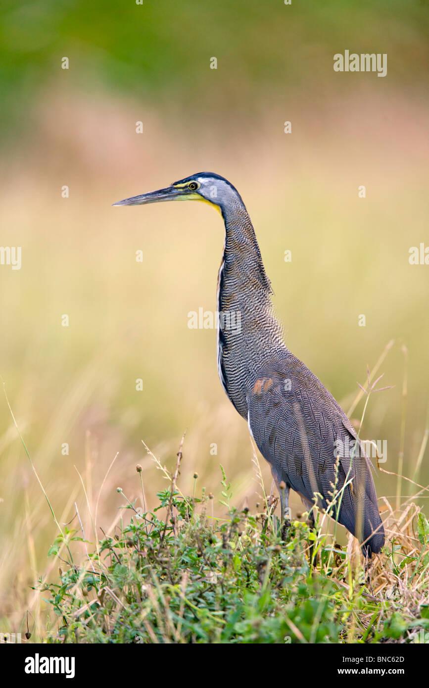 Bare-throated Tiger-Heron Immagini Stock