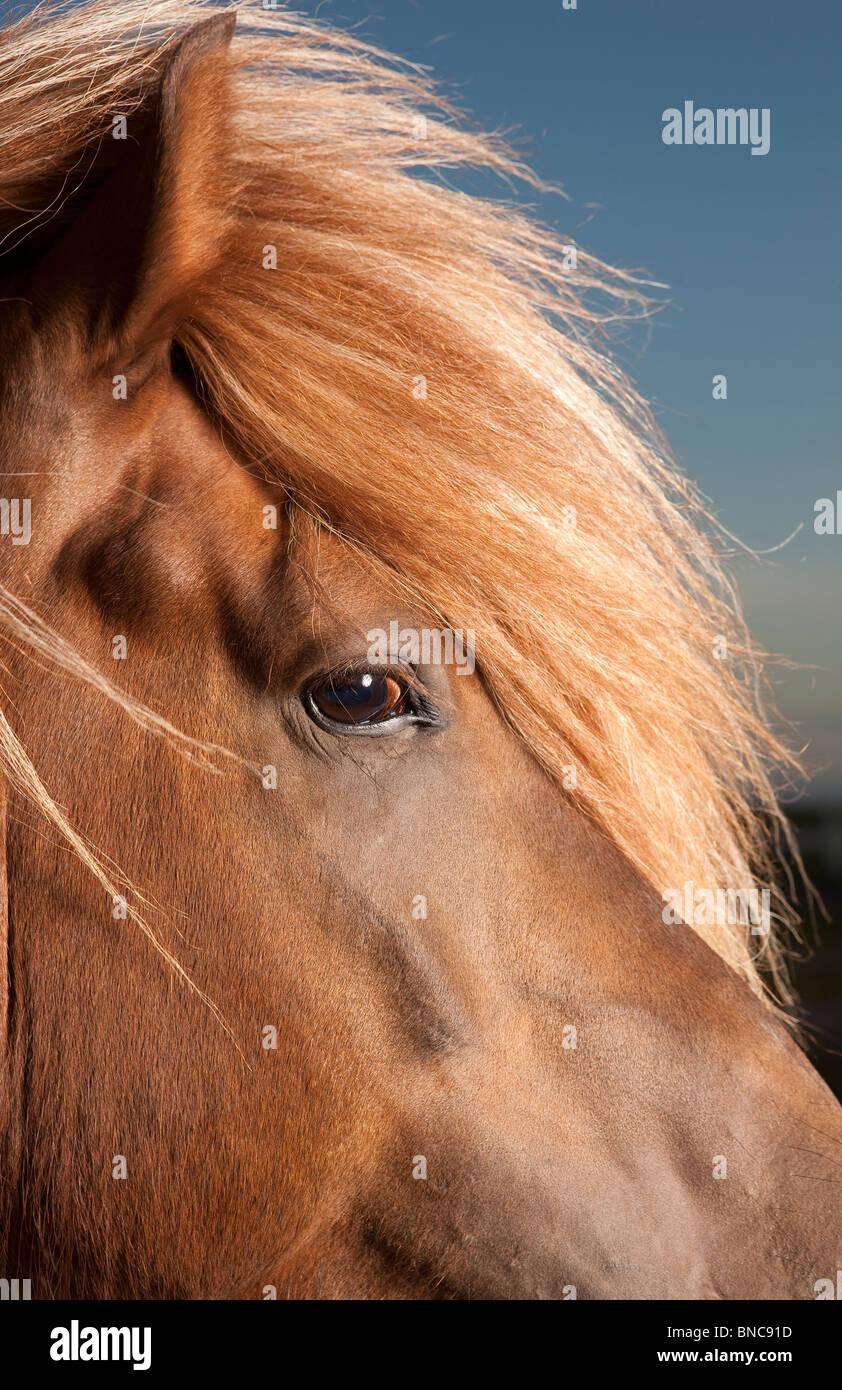Ritratto di cavallo islandese, Islanda Foto Stock