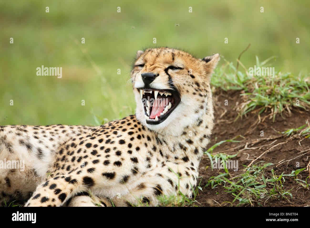 Cheetah sbadigli, il Masai Mara, Kenia Immagini Stock