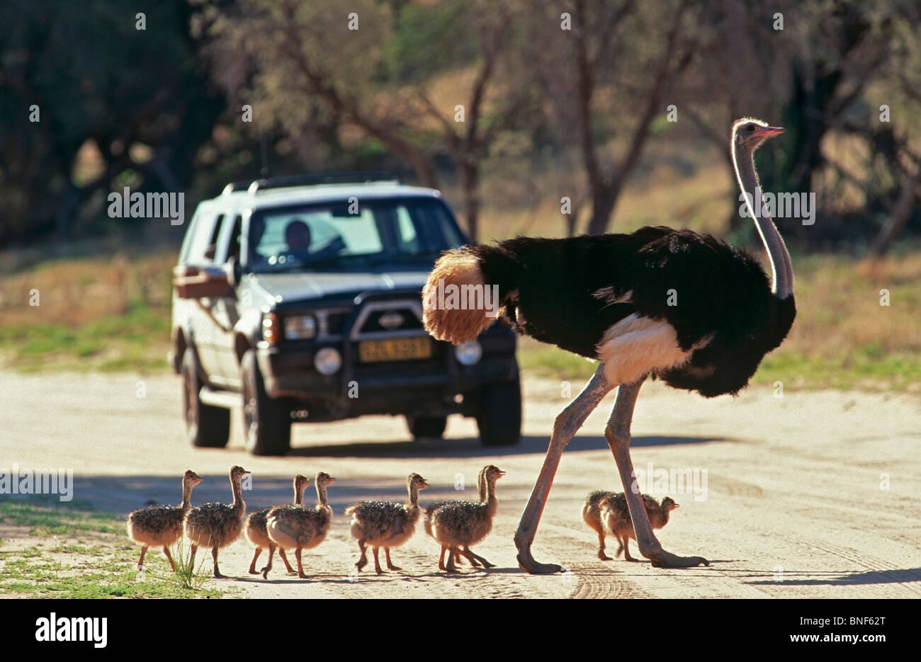 Primo piano del Comune (struzzo Struthio camelus) e pulcini attraversare una strada, Kgalagadi Parco transfrontaliero, Immagini Stock