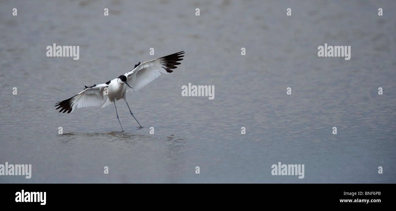 Avocet. Recurvirostra avosetta terre sull'acqua. Francese: Avocette élégante tedesco: Säbelschnäbler Immagini Stock