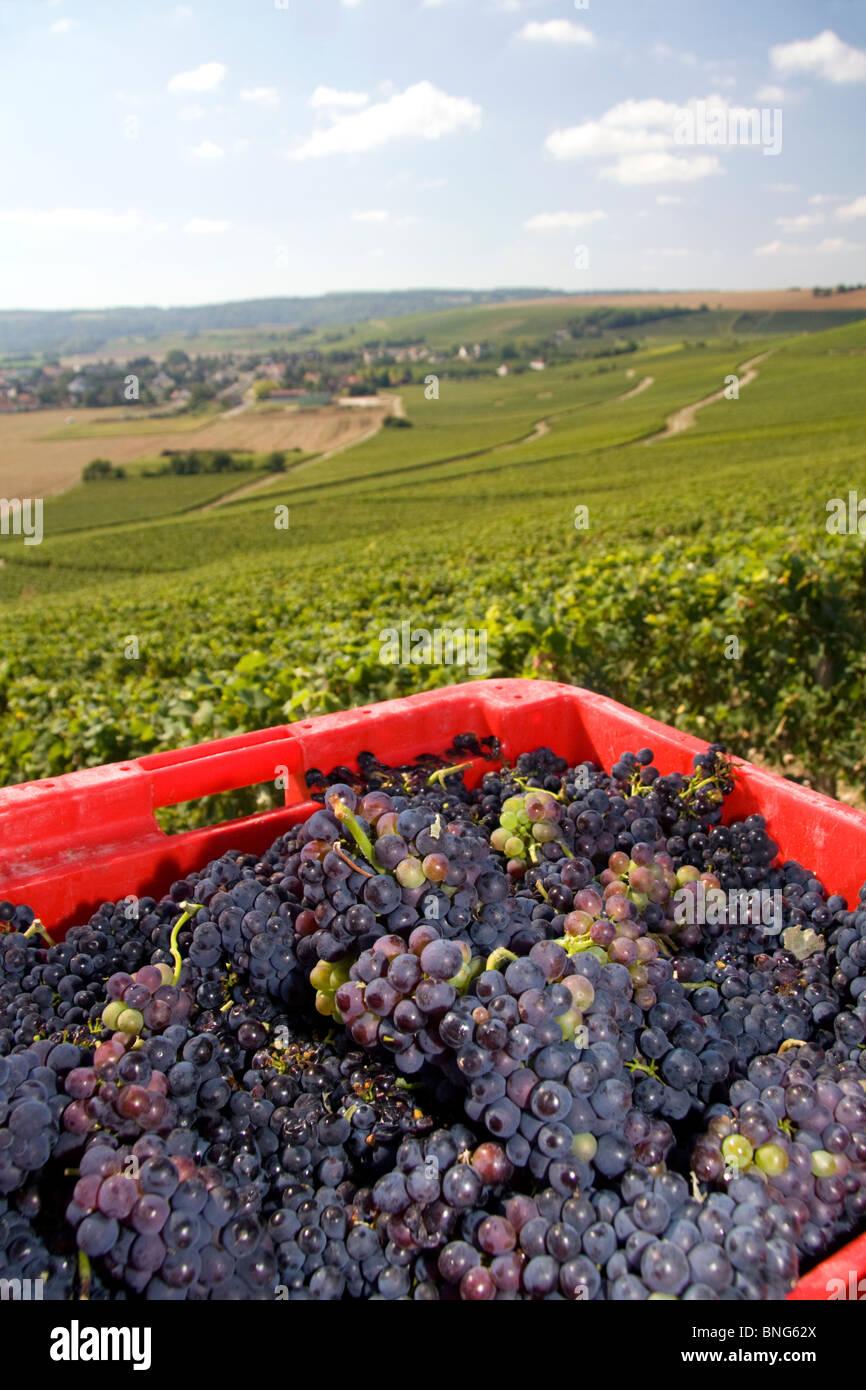 Raccolte le uve provenienti da un vigneto nella Champagne provincia del nord-est della Francia. Immagini Stock