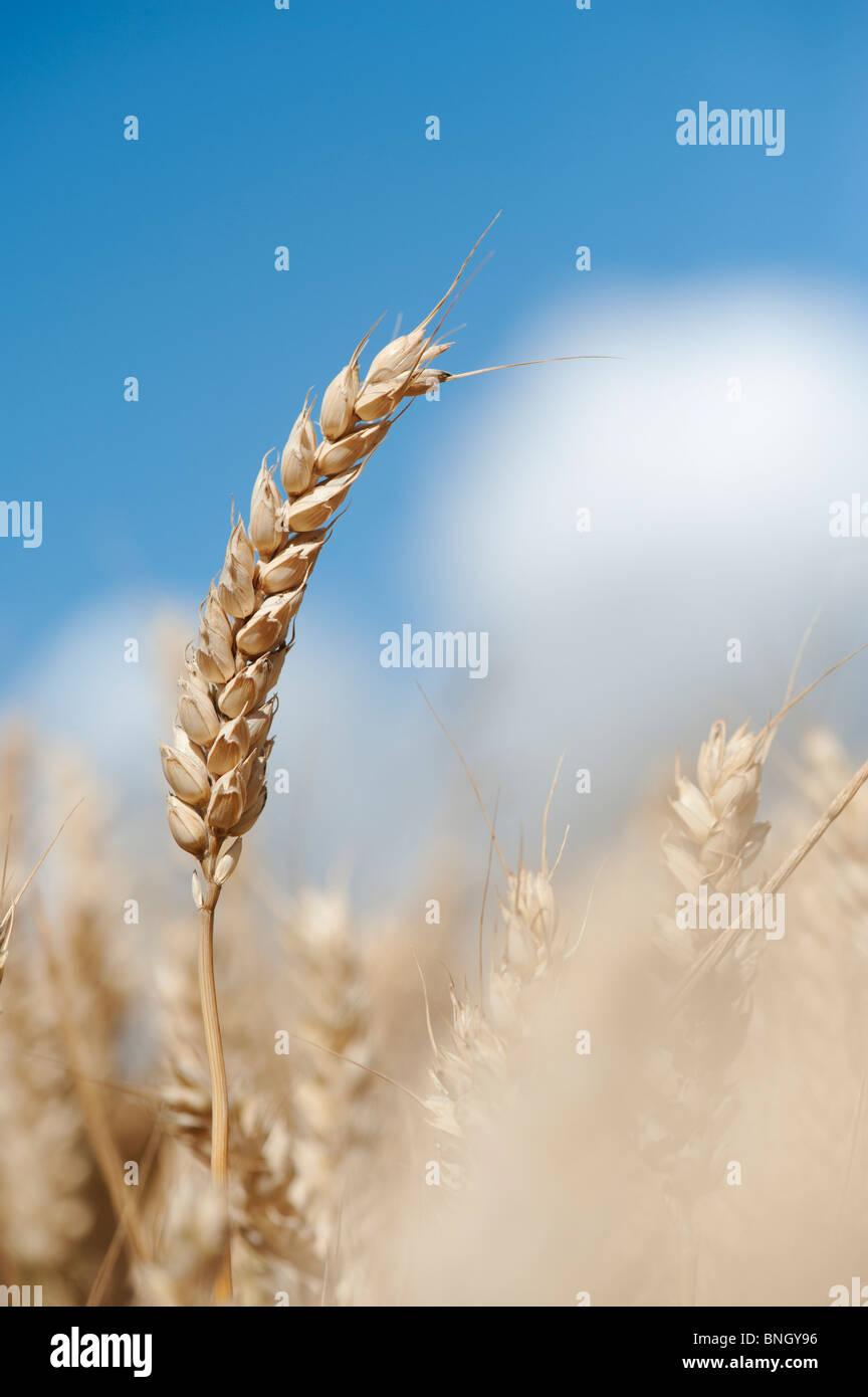 Triticum aestivum. Il grano in un campo nella campagna inglese Immagini Stock