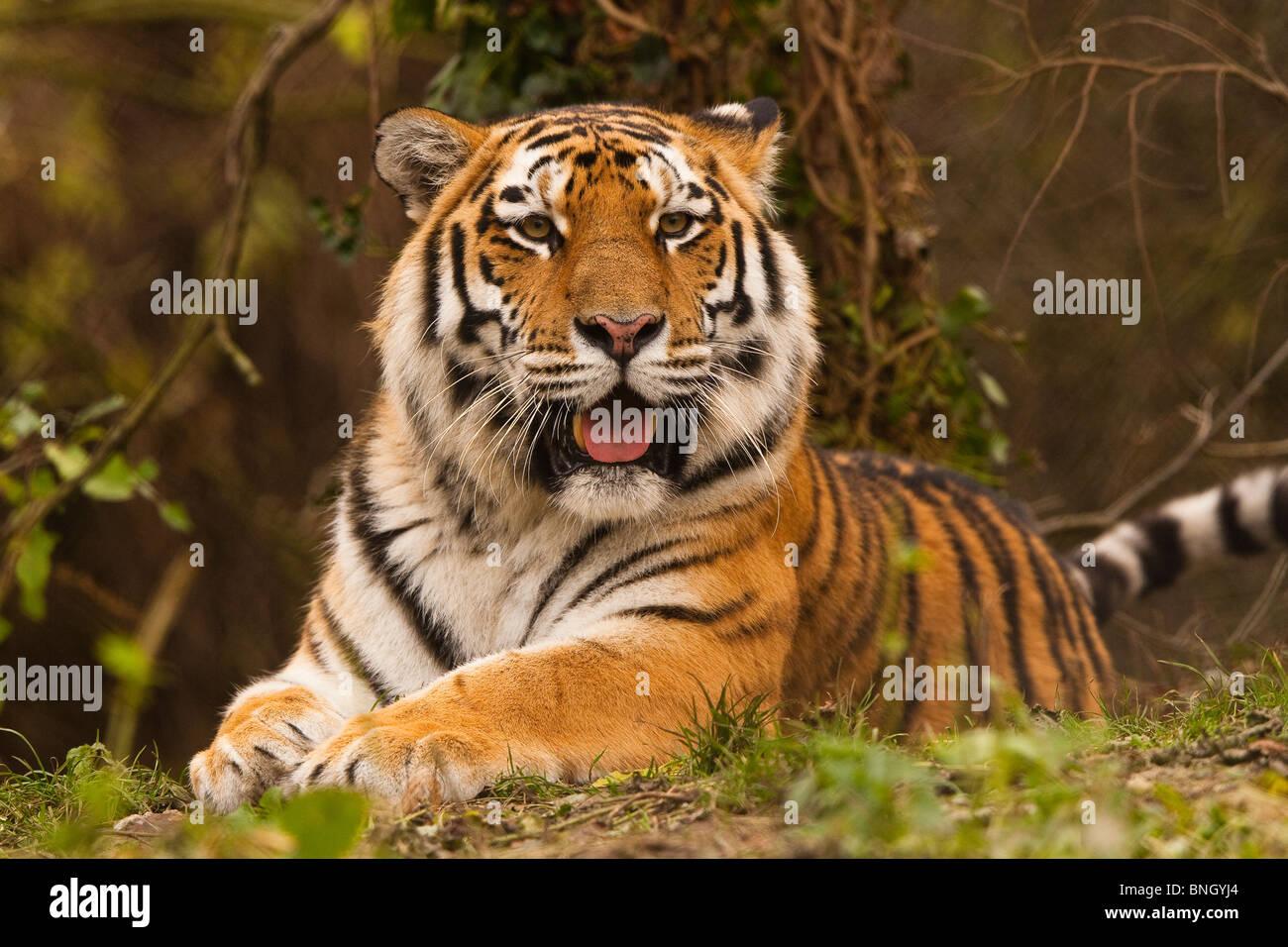 Siberian/tigre di Amur Immagini Stock