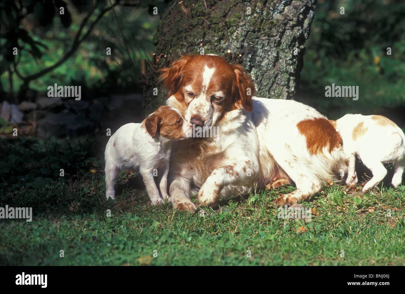 Epagneul Breton Di Animali Di Razza Degli Animali Domestici Pet Cane