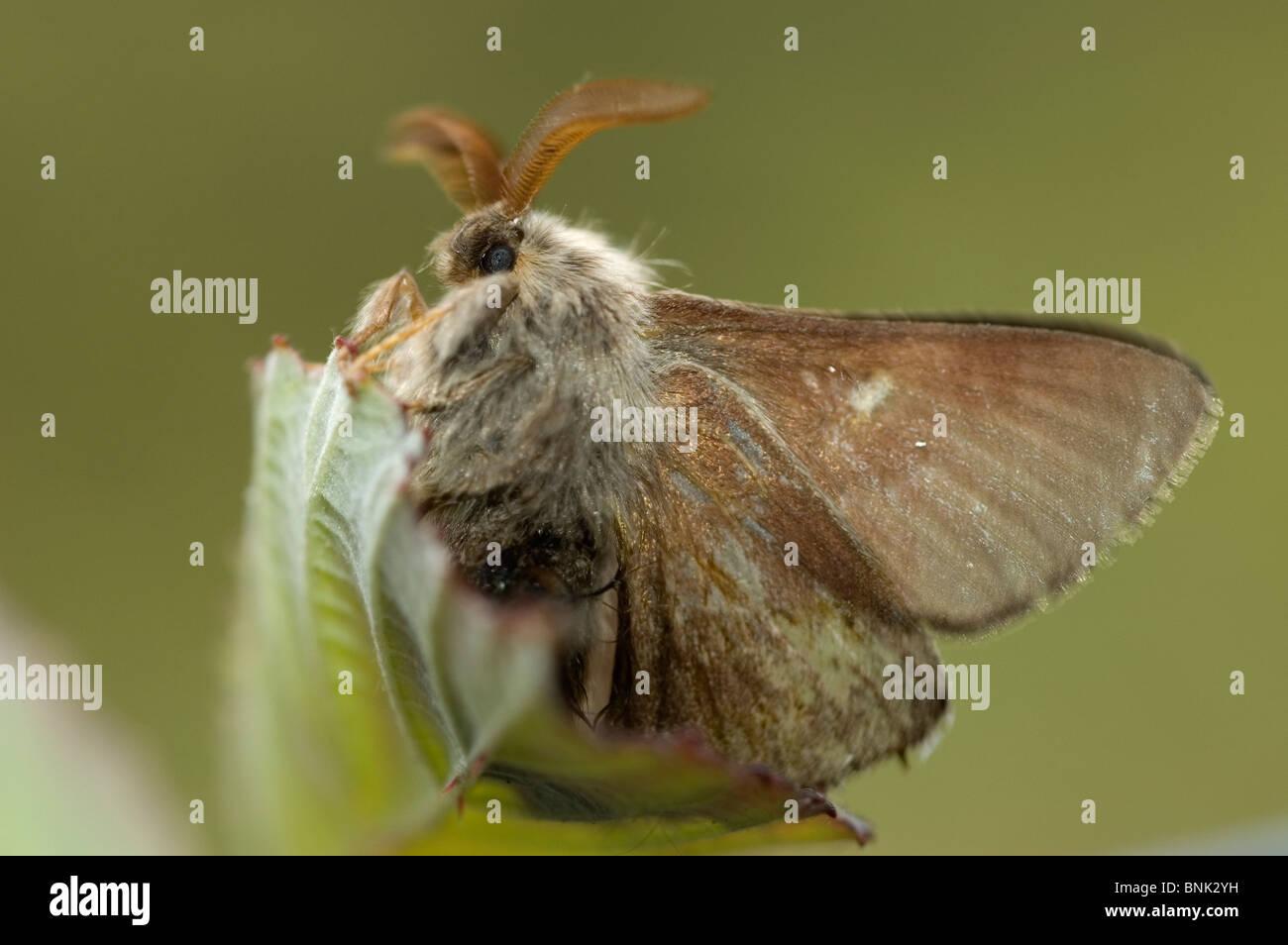 Psilogaster loti Moth Immagini Stock
