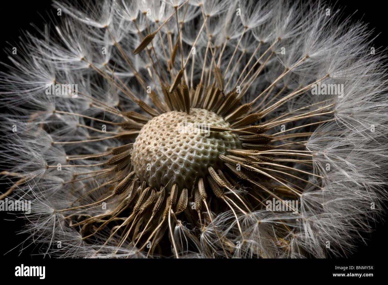Vista macro di un fiore Dandilion andato alle sementi, Alaska Immagini Stock