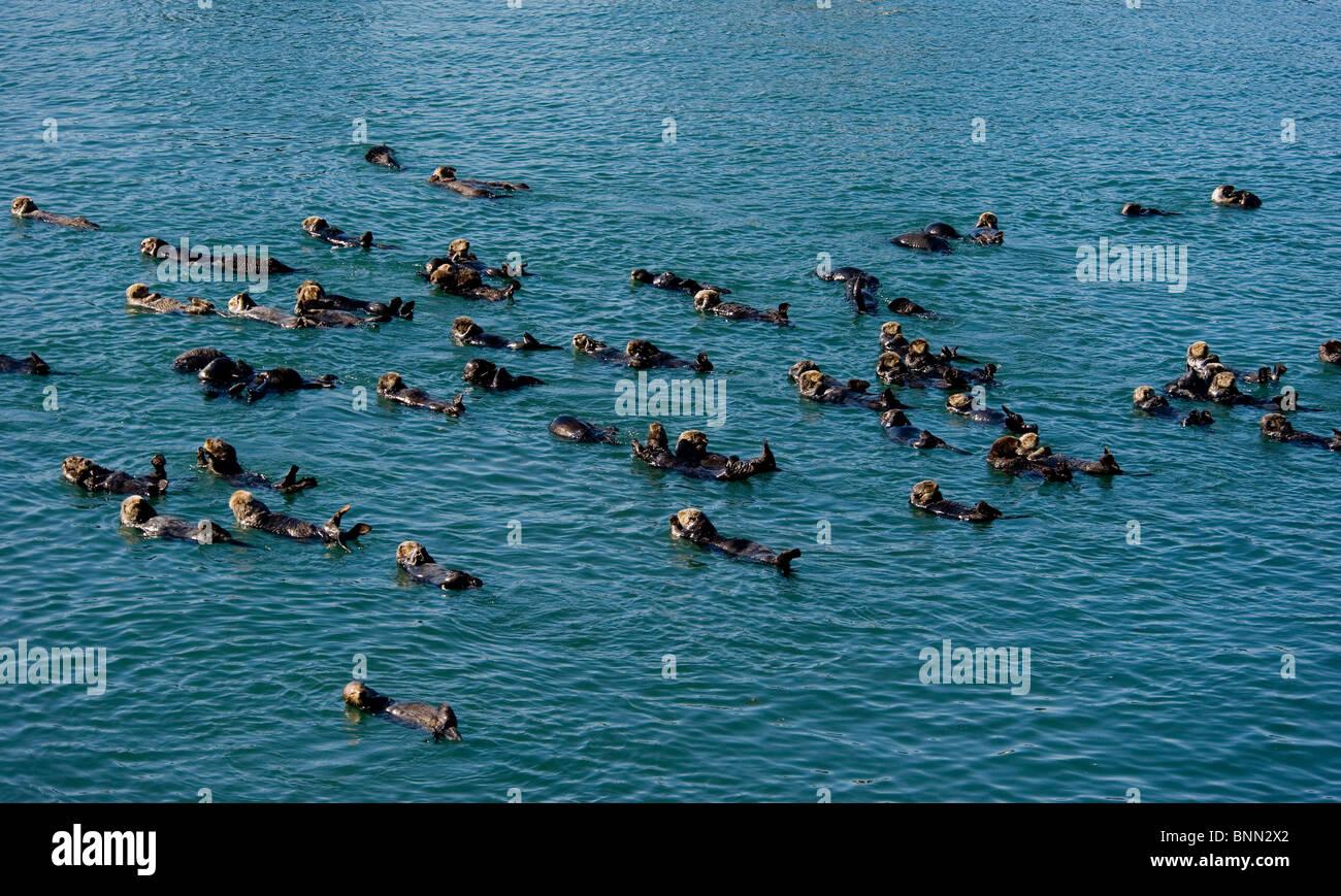 Un grande gruppo di le lontre marine si radunano insieme in Prince William Sound in Alaska Immagini Stock