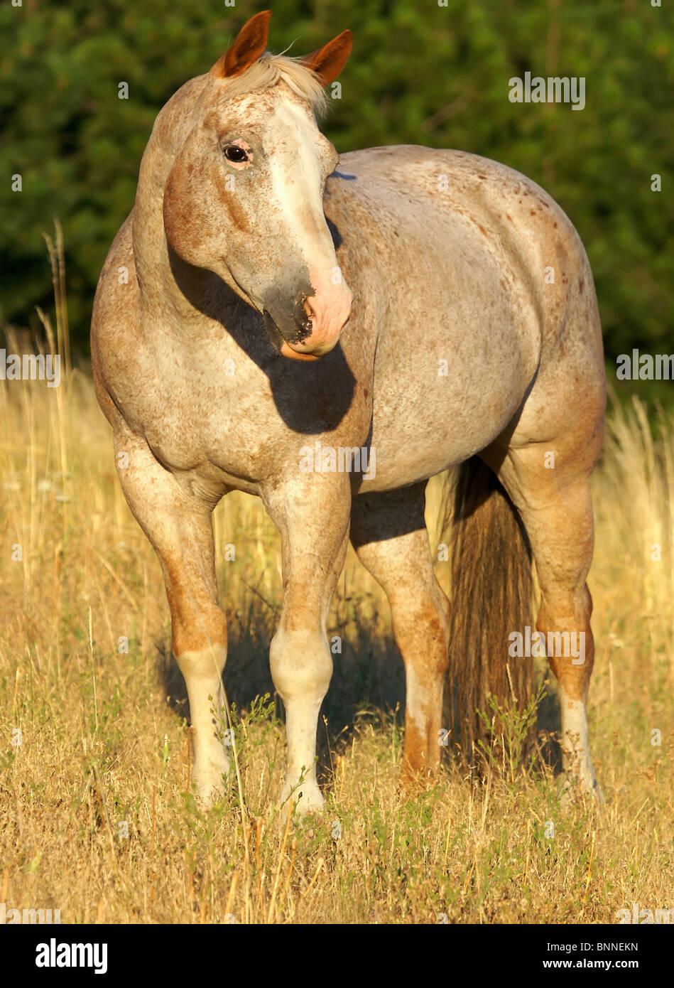 Piuttosto cavallo in piedi in campo Immagini Stock