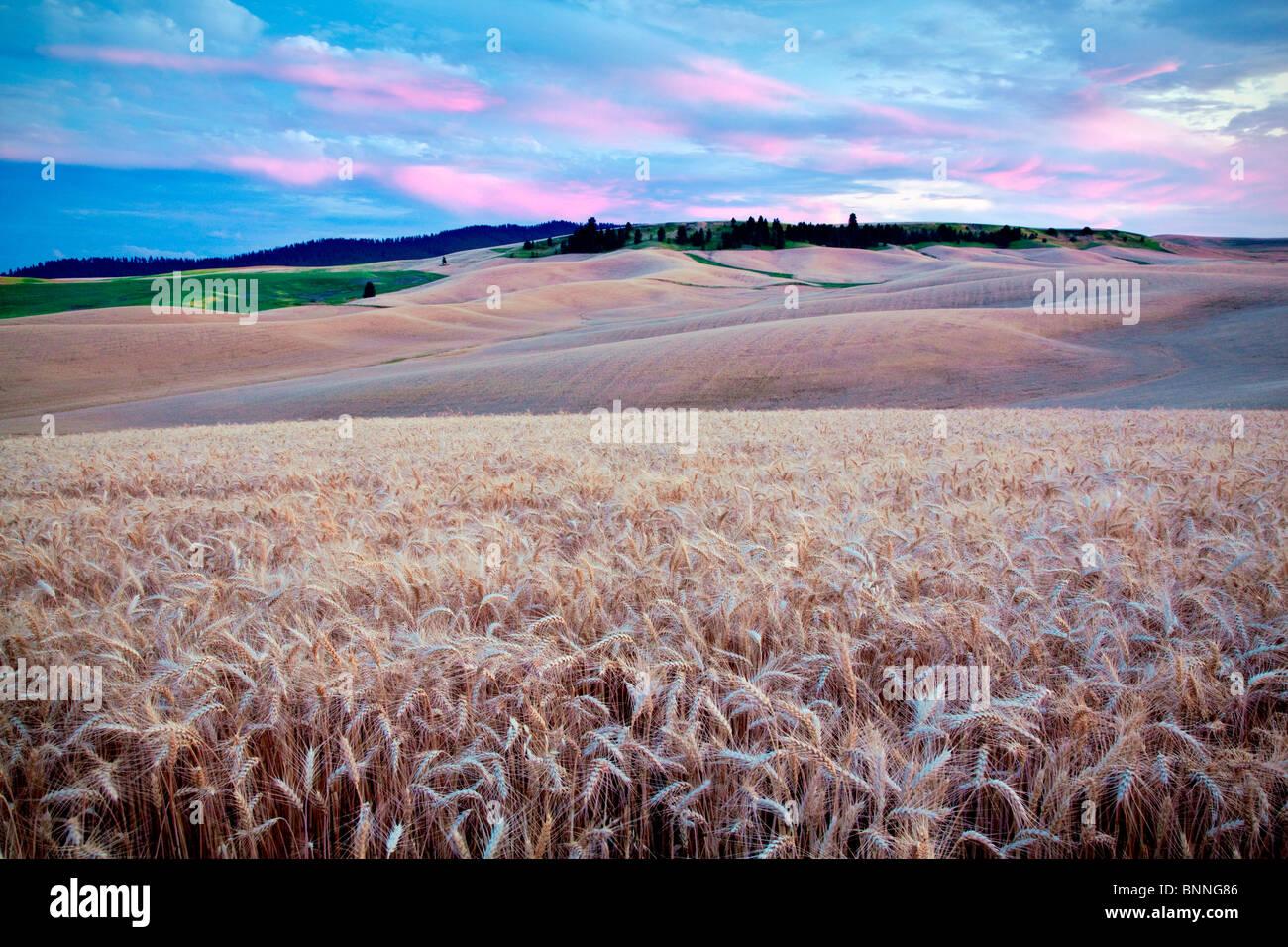 Tramonto e campo di grano. Il Palouse, Washington Immagini Stock