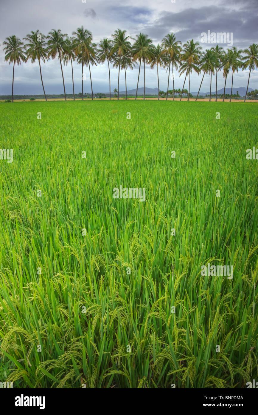 Campo di riso con noci di cocco in background. Theni Tamil Nadu, nell India meridionale Immagini Stock