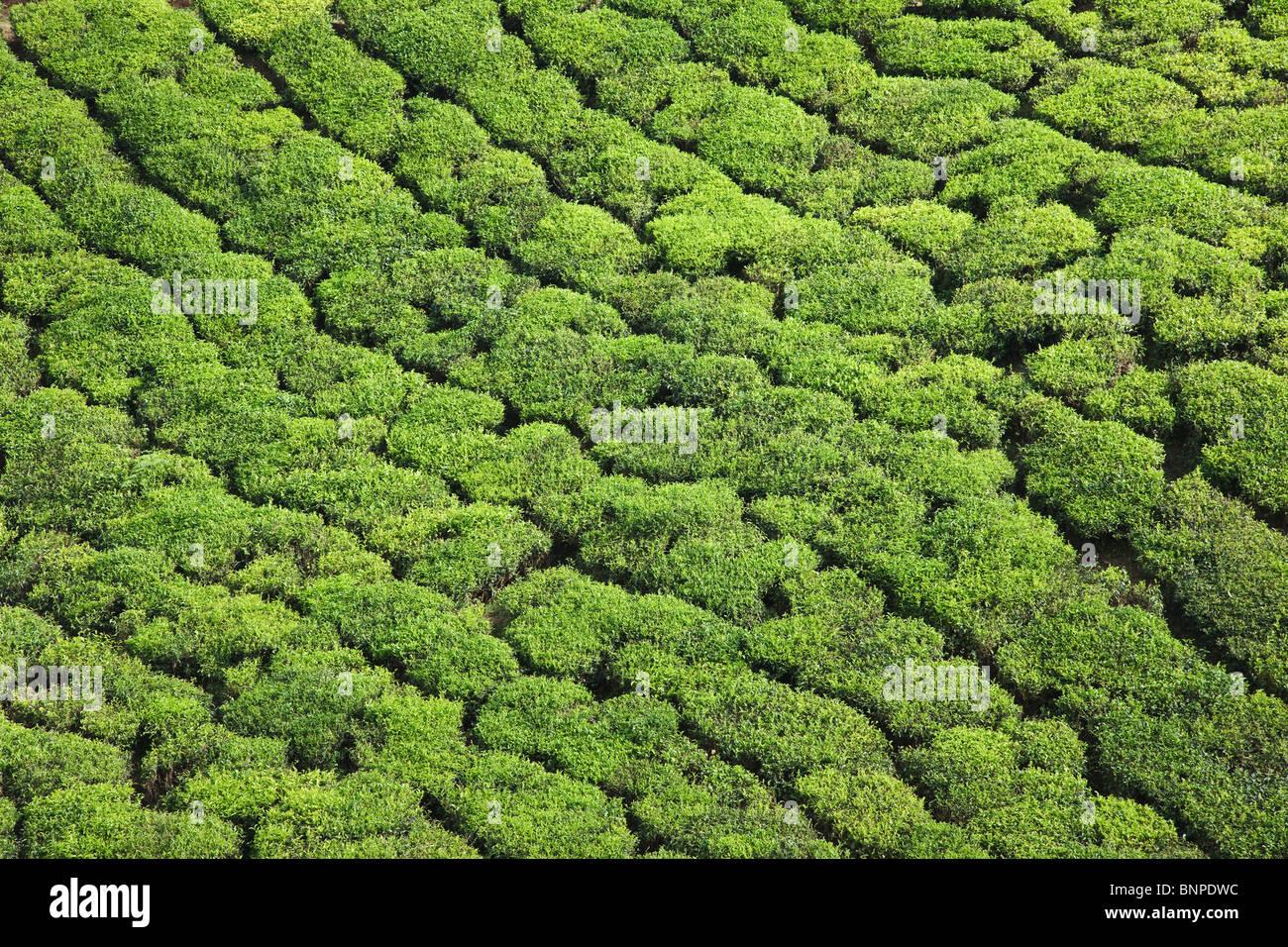 Munnar ha le estese piantagioni di tè dove la maggior parte del tè è ancora raccolte a mano Immagini Stock