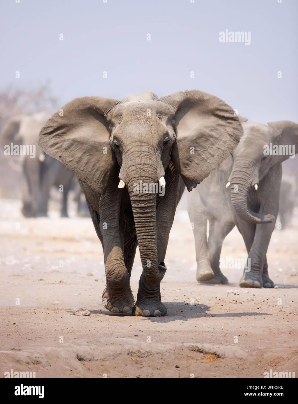 Elephant avvicinando sulla sabbia polverosa con allevamento seguenti in background (Etosha deserto) Immagini Stock