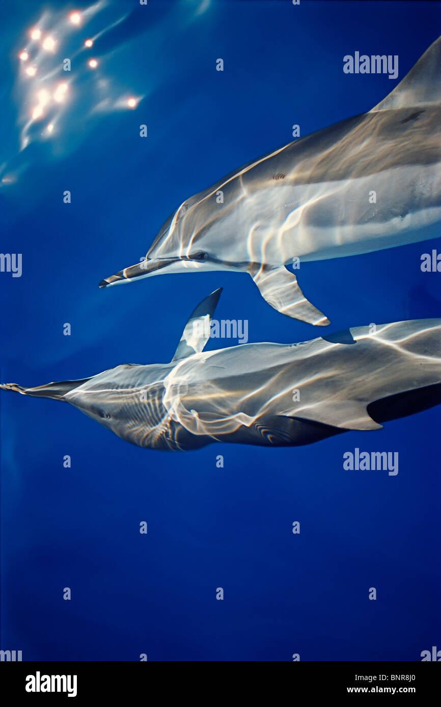 Hawaiian spinner delfini Stenella longirostris longirostris, comunicante con le pinne pettorali mentre bow-equitazione Foto Stock