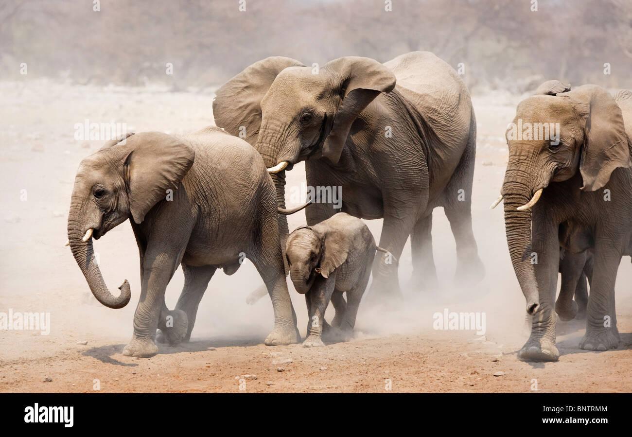 Una mandria di elefanti avvicinando su pianure polverose del Parco Nazionale di Etosha Immagini Stock