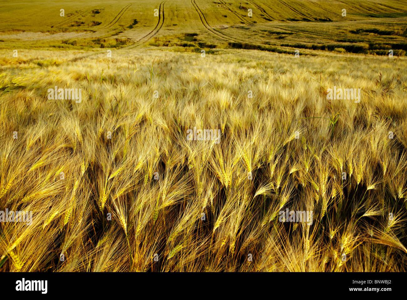 Campo di mais nel bel mezzo dell'estate Immagini Stock