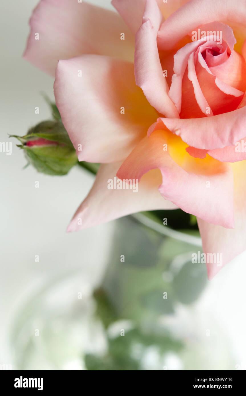 Albicocca ibrido di colore rosa tea, con Bud in un vaso di vetro ...