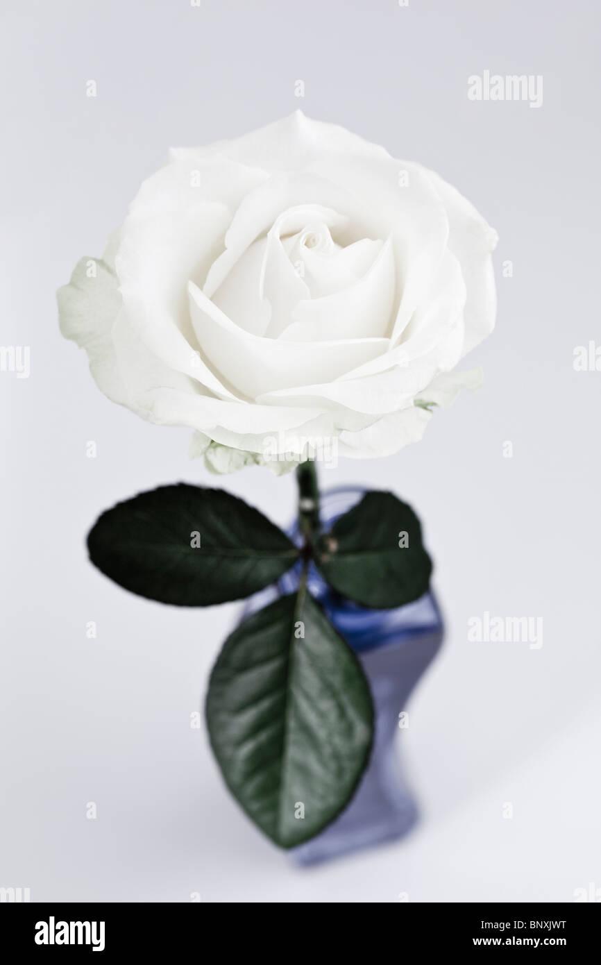 Singola Rosa Bianca Immagini Stock
