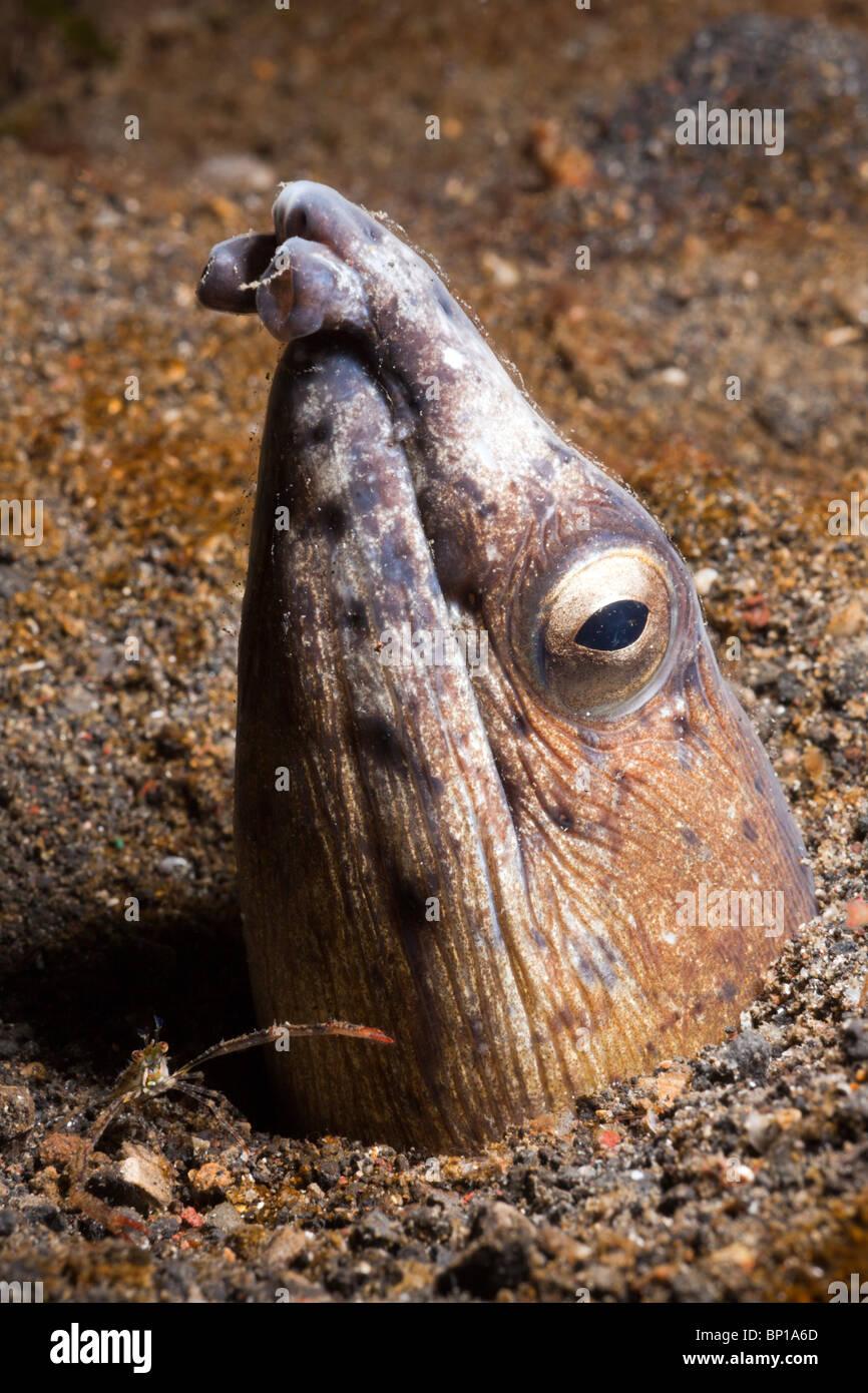 Nero-serpente alettato Anguilla, Ophichthus melanochir, Lembeh strait, Sulawesi, Indonesia Immagini Stock