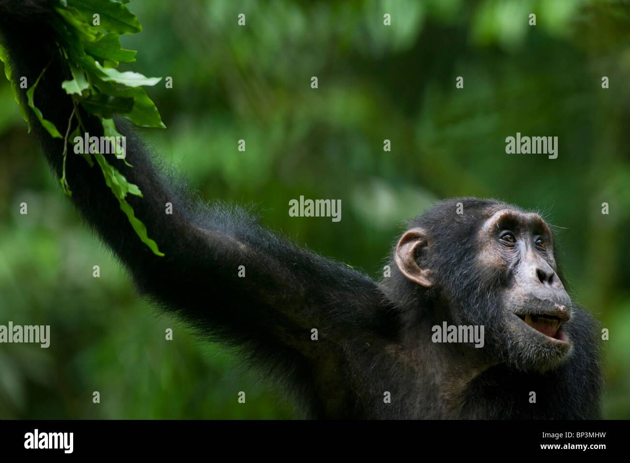 Africa, Uganda, Foresta di Kibale Riserva, Ritratto di scimpanzé per adulti (Pan troglodytes) di appoggio nella Immagini Stock