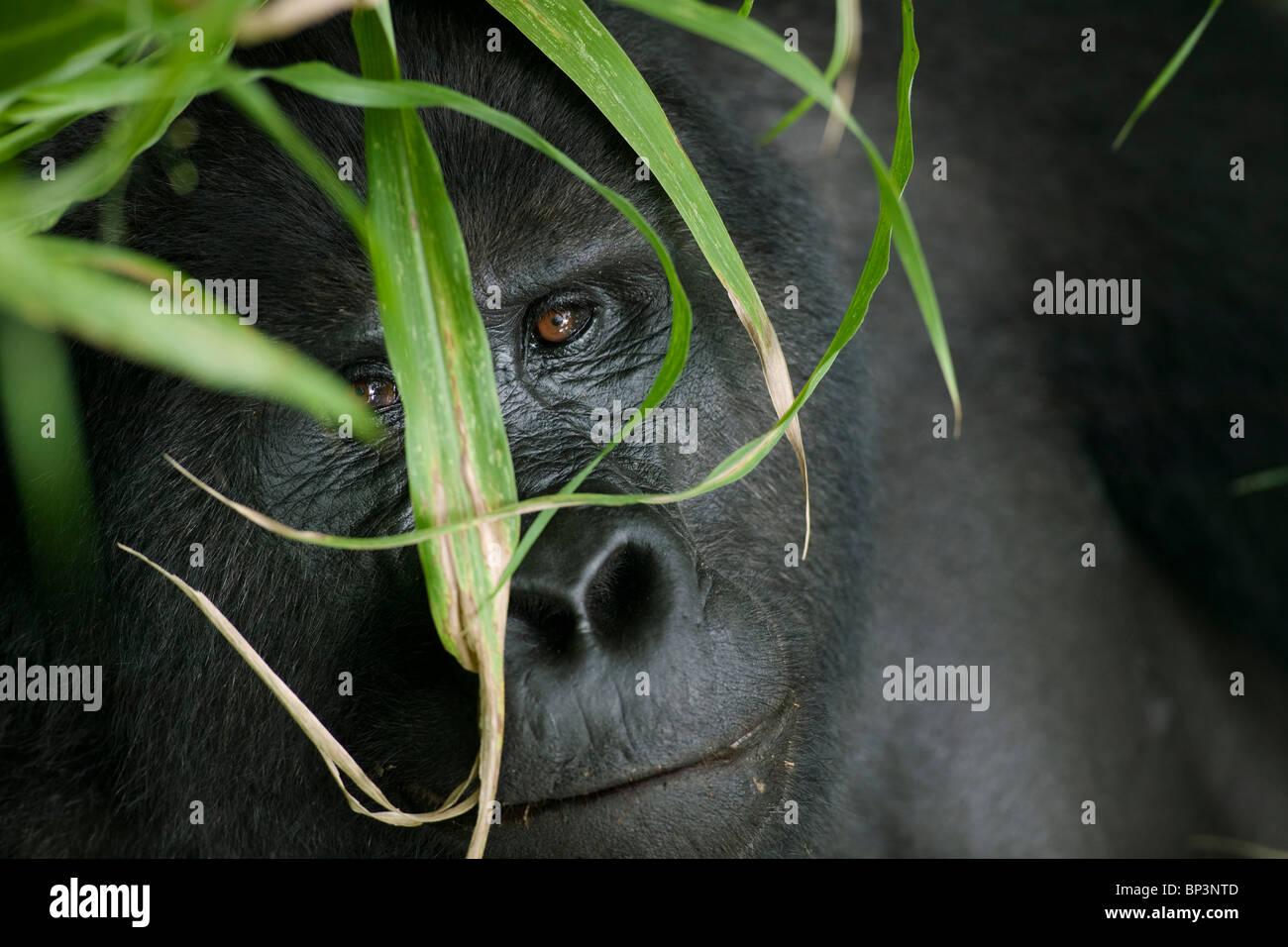 Africa, Uganda, Parco nazionale impenetrabile di Bwindi, adulto Gorilla di Montagna (Gorilla gorilla beringei) nella Immagini Stock