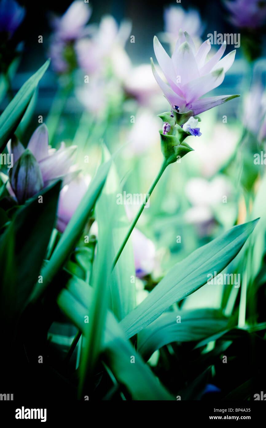 Siam Tulipani (Curcuma alismatifolia) decorare il Conservatorio di Longwood Gardens di Kennett Square, Pennsylvania. Immagini Stock