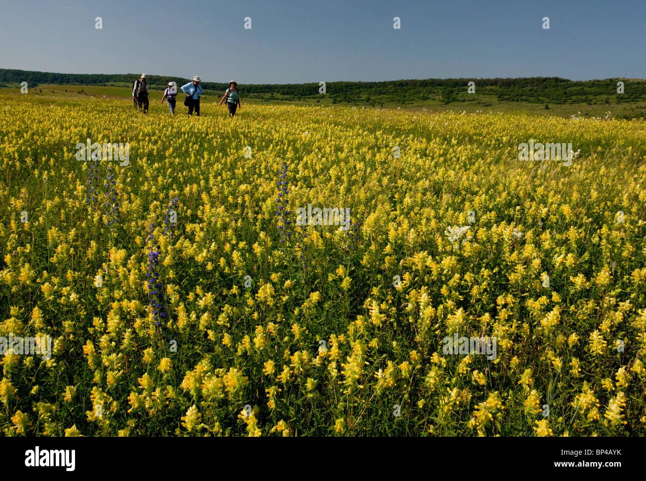Gruppo di natura a piedi attraverso intensamente fiorito di ampie praterie intorno al villaggio sassone di Viscri Foto Stock