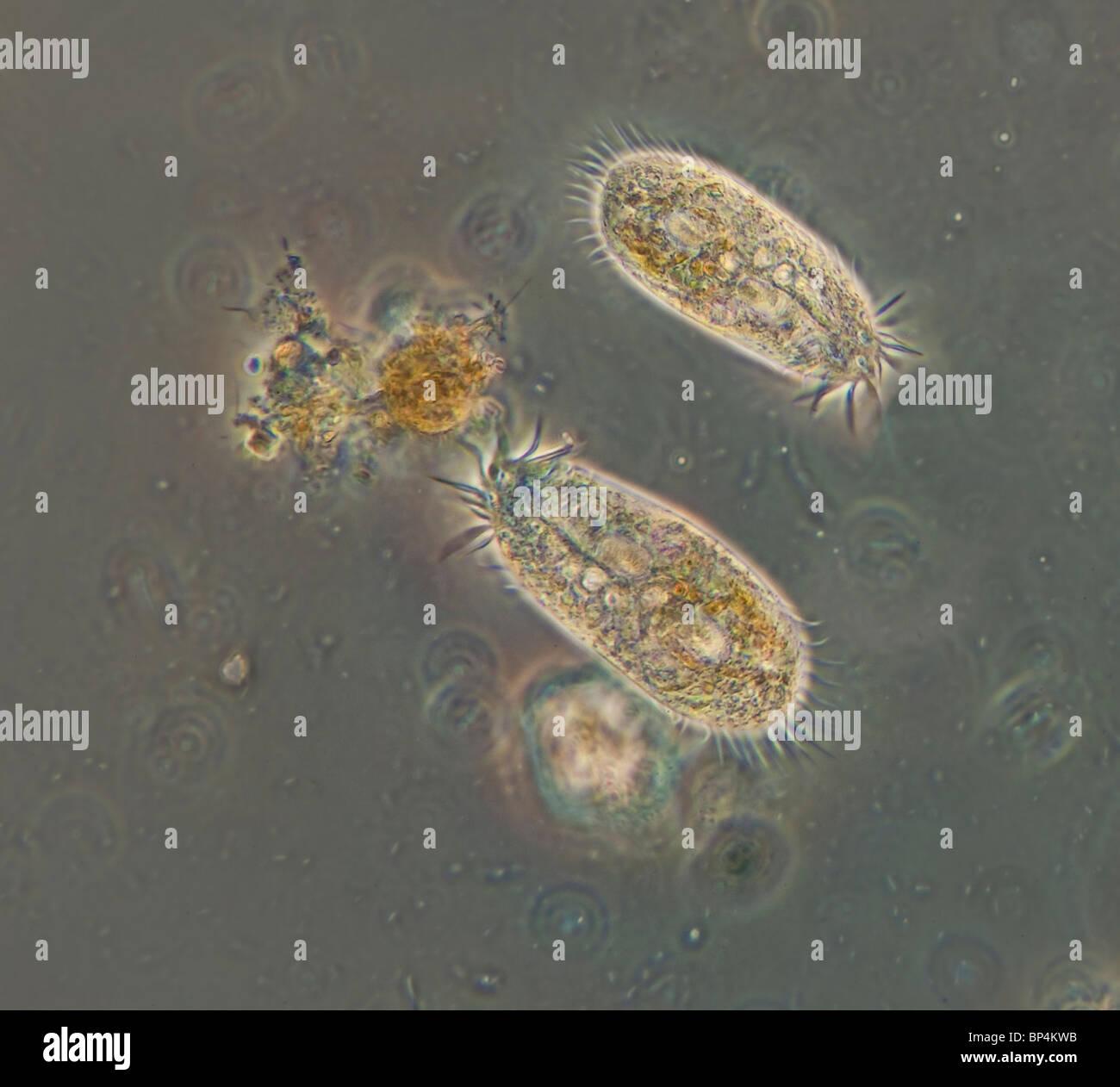 Campo oscuro / contrasto fase microfotografia di due Hypotrichs, un nuoto veloce ciliato, in un campione di acqua Immagini Stock
