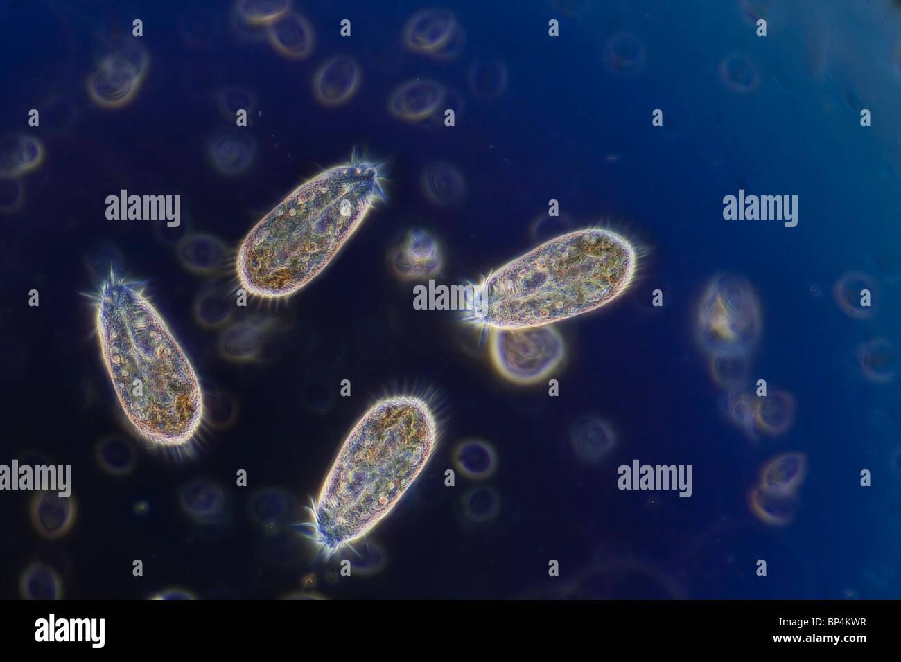 Campo oscuro / contrasto fase fotomicrografia di Hypotrichs, un nuoto veloce ciliato, in un campione di acqua di Immagini Stock