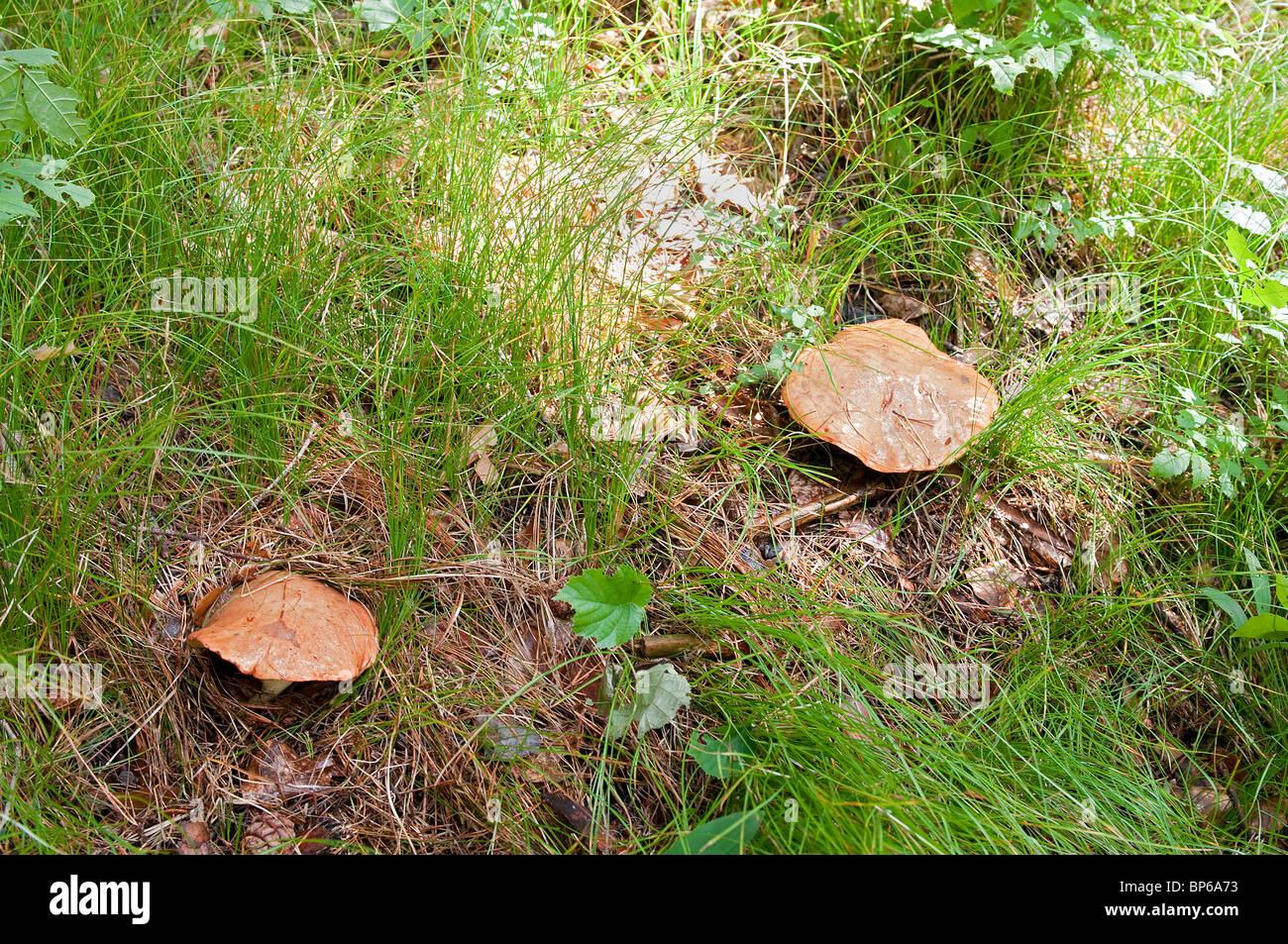 Fungo: SUILLUS GREVILLEI sinonimi: BOLETUS ELEGANS - BOLETUS PULCHELLUS volgarare: BOLETO ELEGANTE Immagini Stock