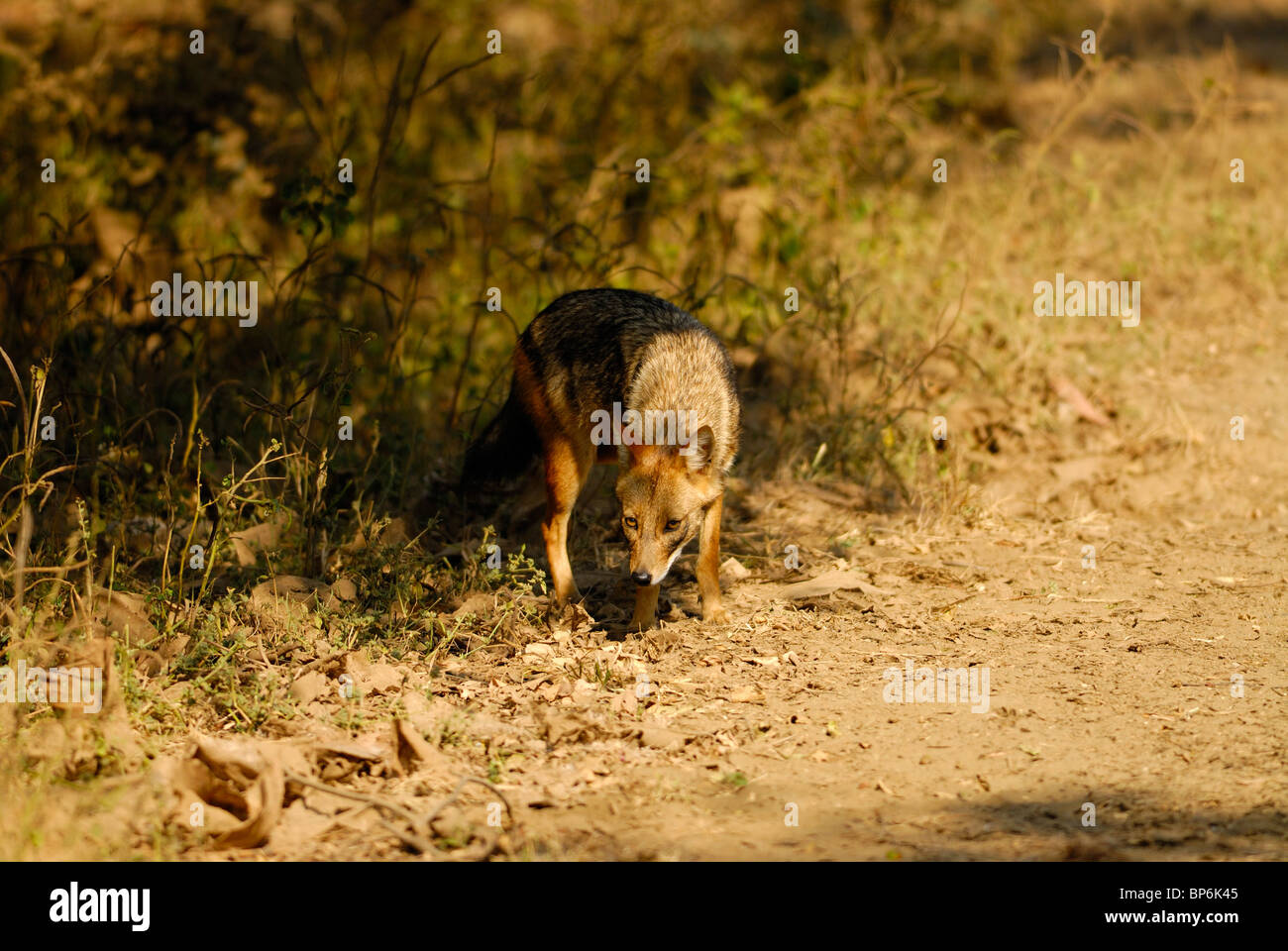 Indian Jackal Canis aureus Foto Stock