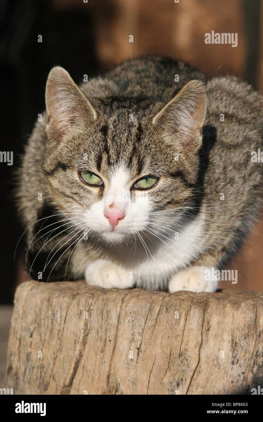 Il gatto domestico (Felis silvestris felis catus). Free-ranging farm cat rannicchiato su un log. Immagini Stock