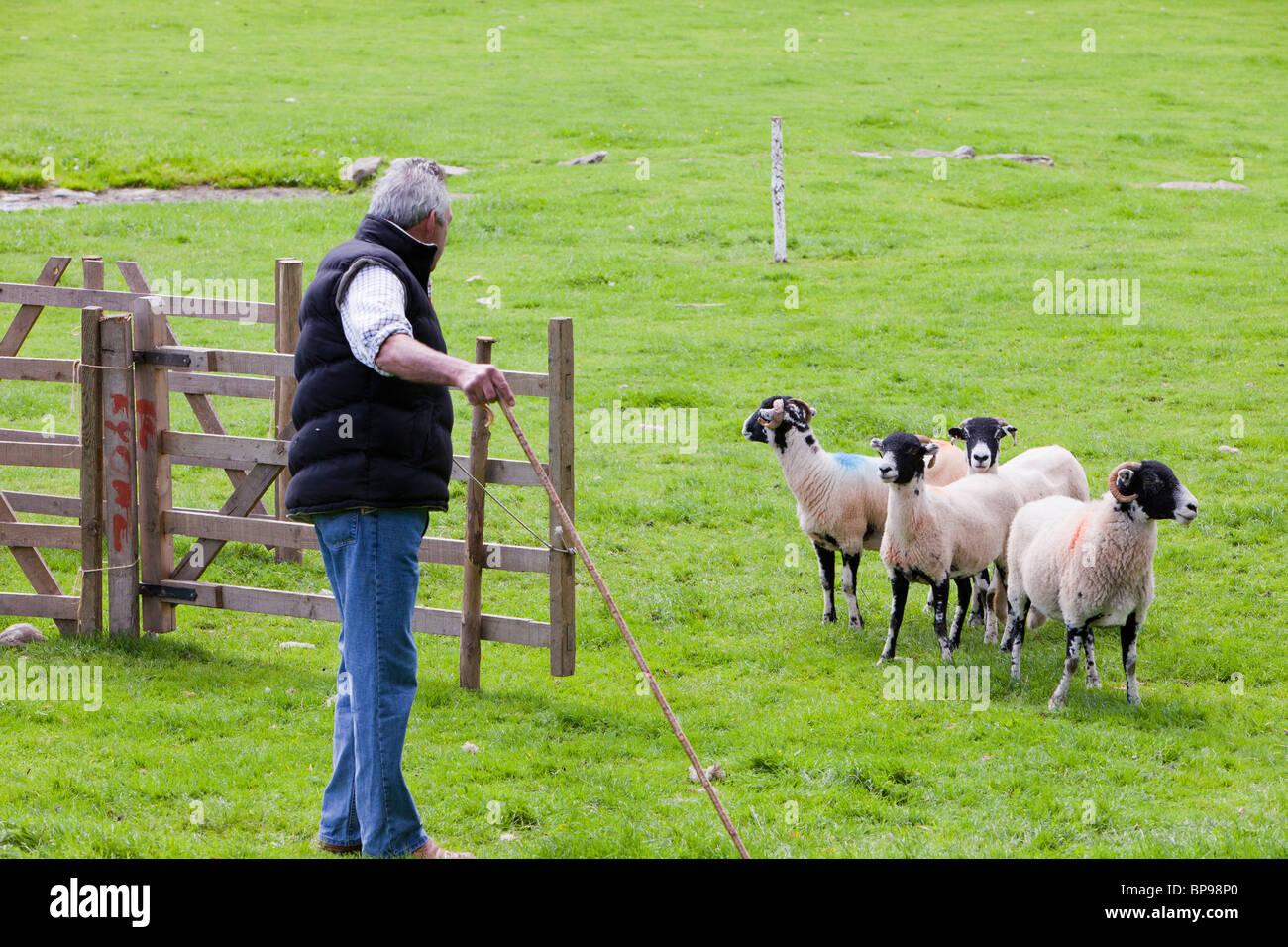Un Pastore Lavora Il Suo Cane E Pecore A Valle Di Rydal Sheepdog