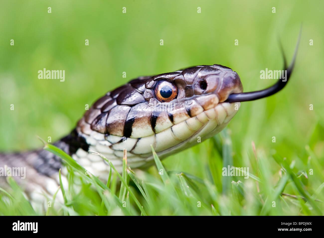 Biscia; Natrix natrix; scorrere la linguetta in erba Immagini Stock