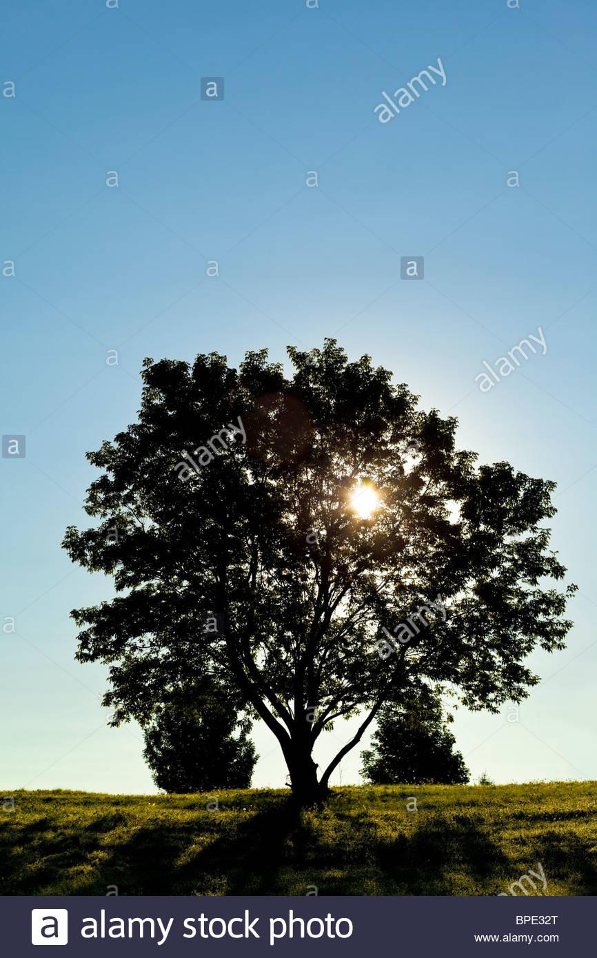 Solitario albero a foglie decidue in mattina presto Immagini Stock