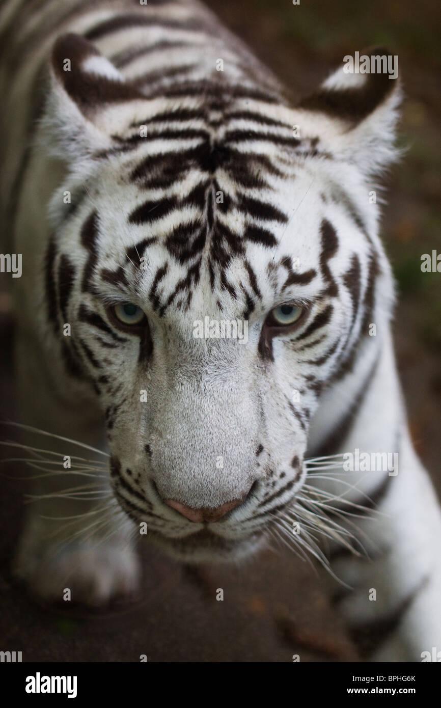 White Tiger cub beauval zoo Immagini Stock