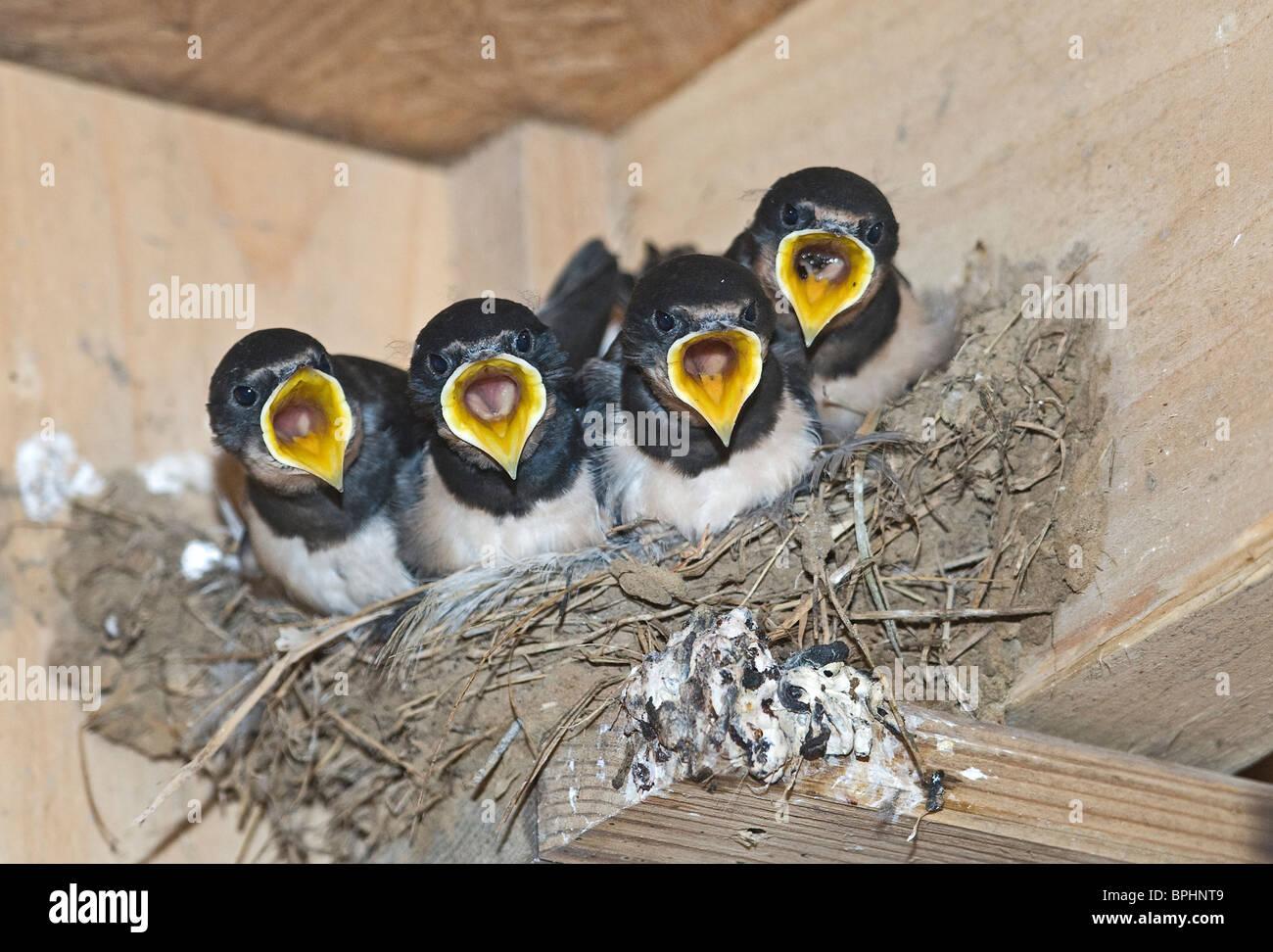 Barn Swallow Hirundo rustica giovani nel nido Cley Norfolk Settembre Immagini Stock