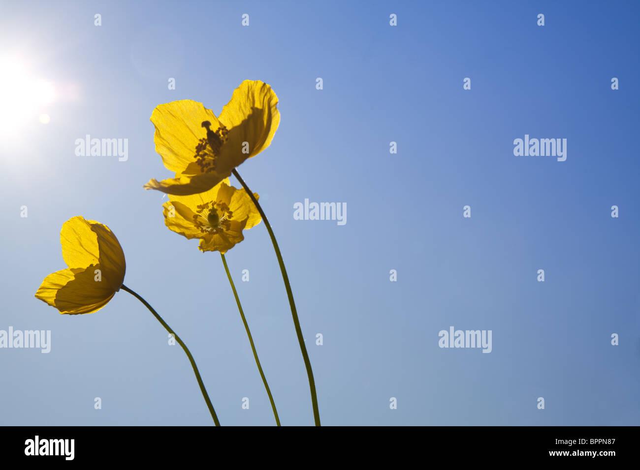 Papaveri selvatici che si inclina verso il sole in un cielo blu chiaro Foto Stock