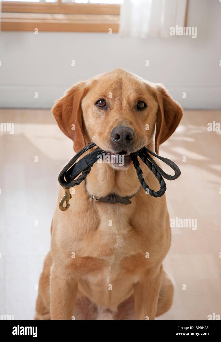 Cute cane vuole andare a fare una passeggiata Immagini Stock