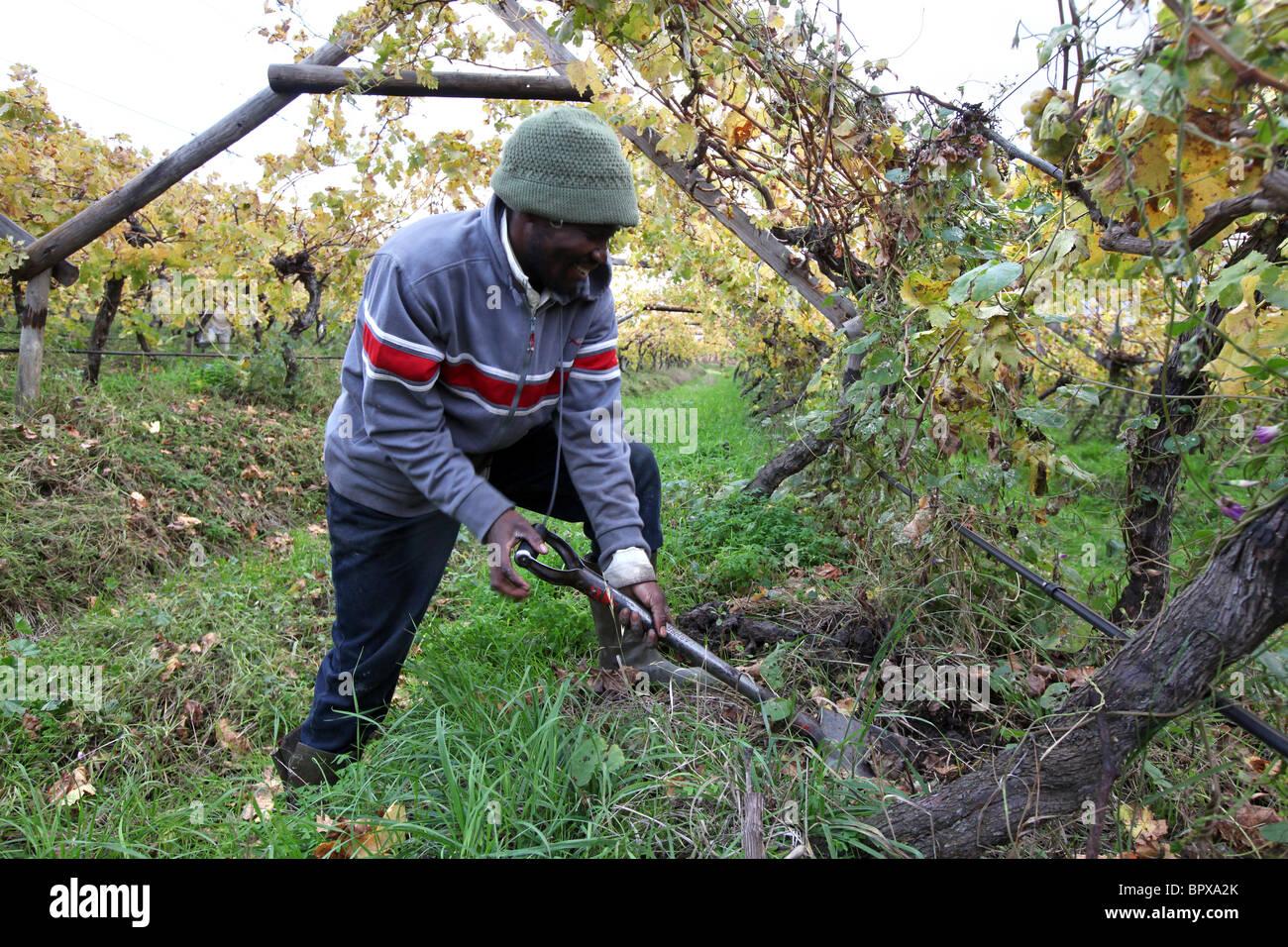 Sud Africa: lavoratore in un vigneto nella regione del vino della provincia del Capo occidentale vicino a De Doorns, Immagini Stock
