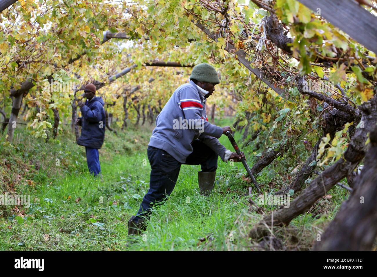 Sud Africa: i lavoratori in un vigneto nella regione del vino della provincia del Capo occidentale vicino a De Doorns, Immagini Stock