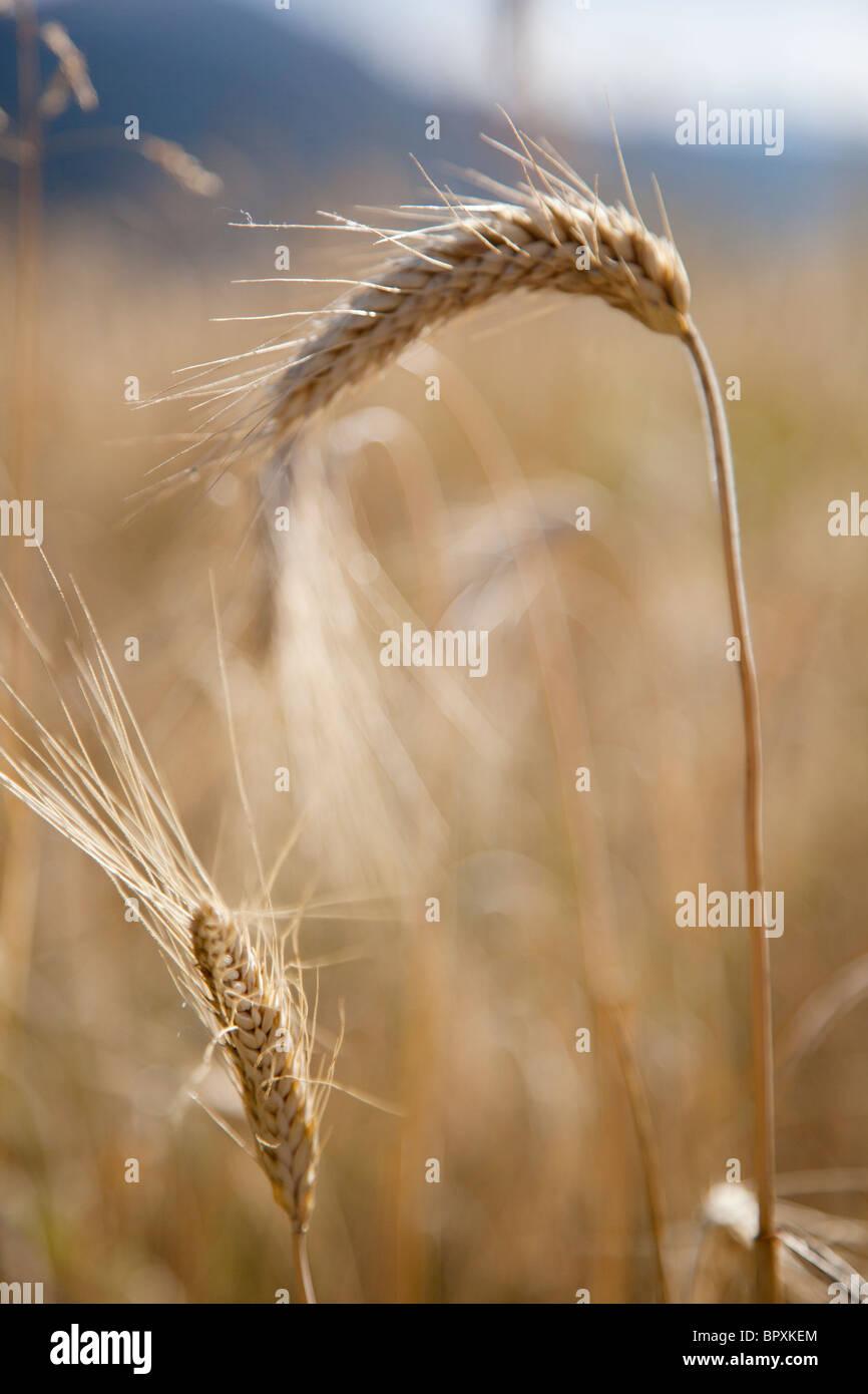 In prossimità del grano nel campo Immagini Stock